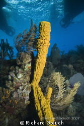 Tube Sponge underneath Nekton-Pilot Belize by Richard Goluch 